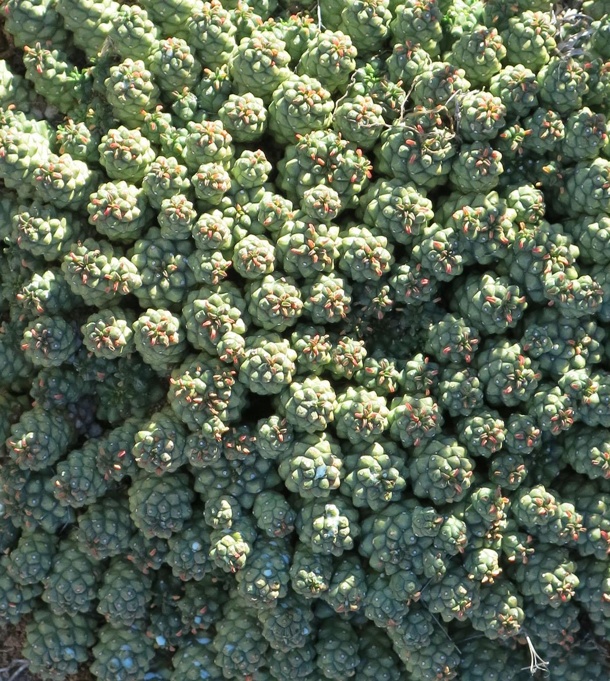 Euphorbia tuberculata 6