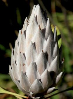 Protea cynaroides 43