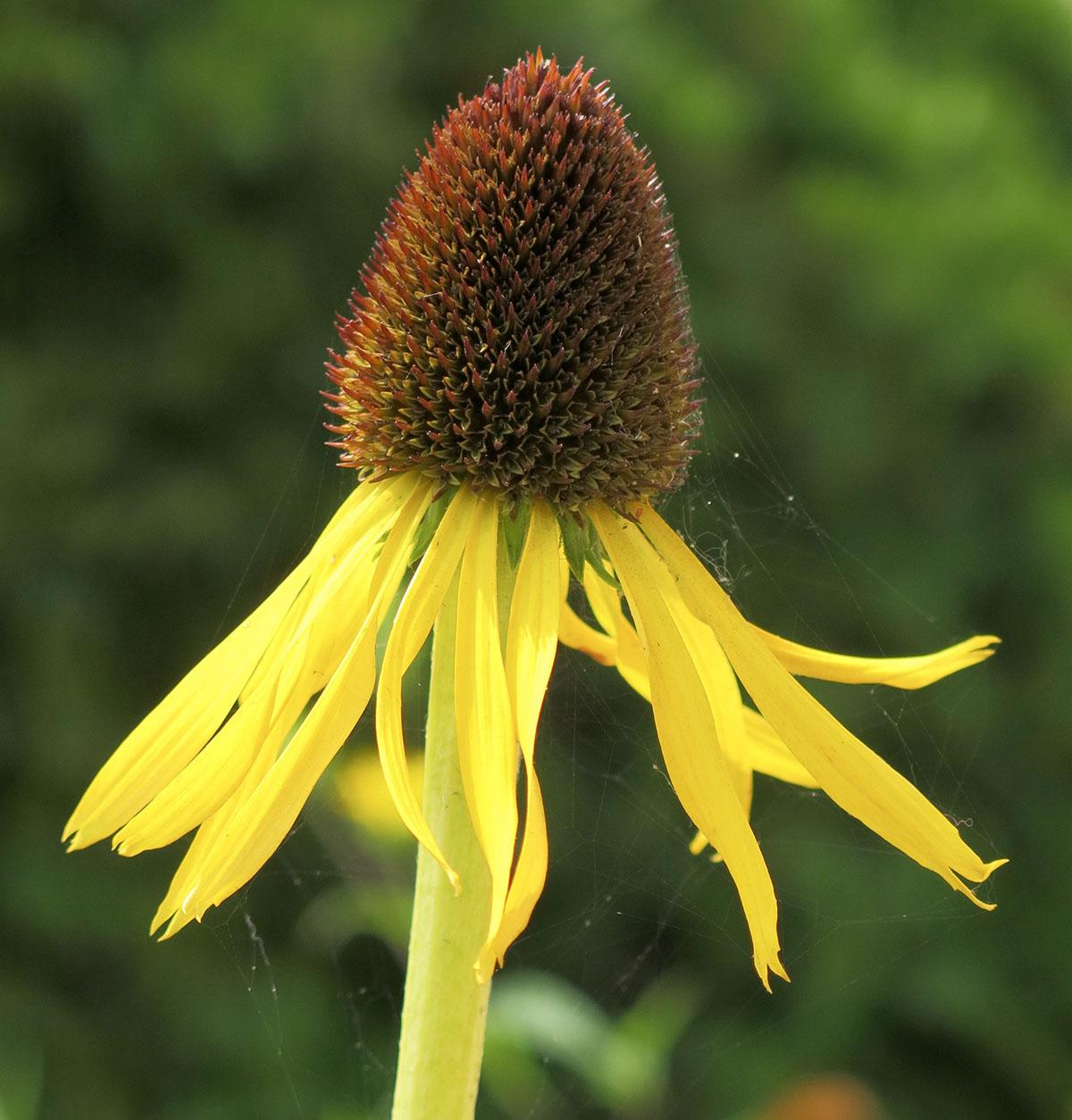 Rudbeckia scabrifolia 10