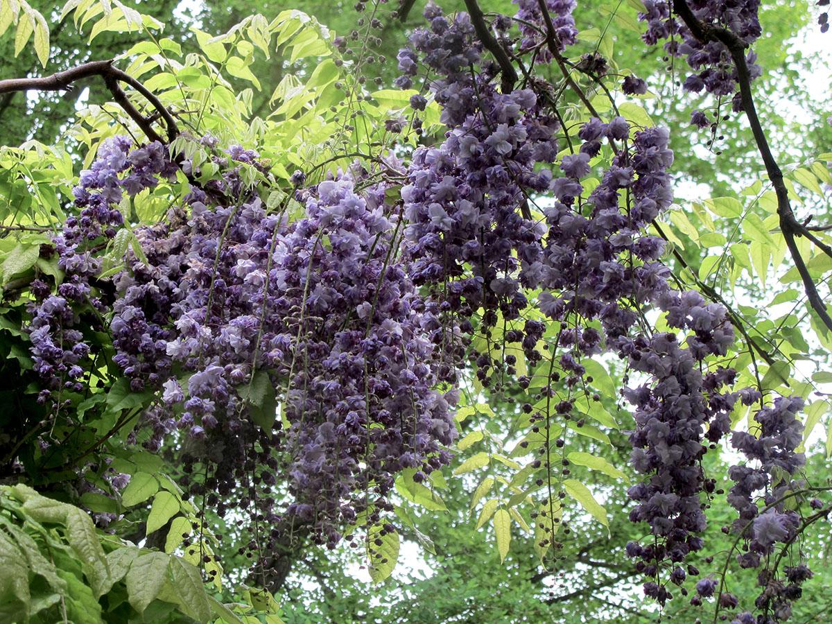 Wisteria floribunda Violace plena 10