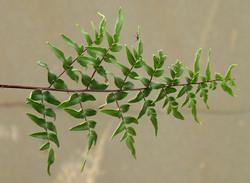 Pellaea viridus viridis 9