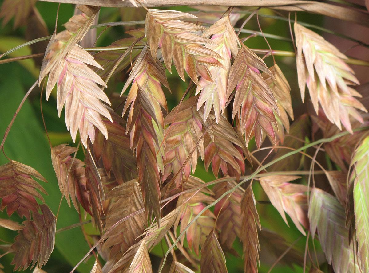 Chasmanthium latifolium 17