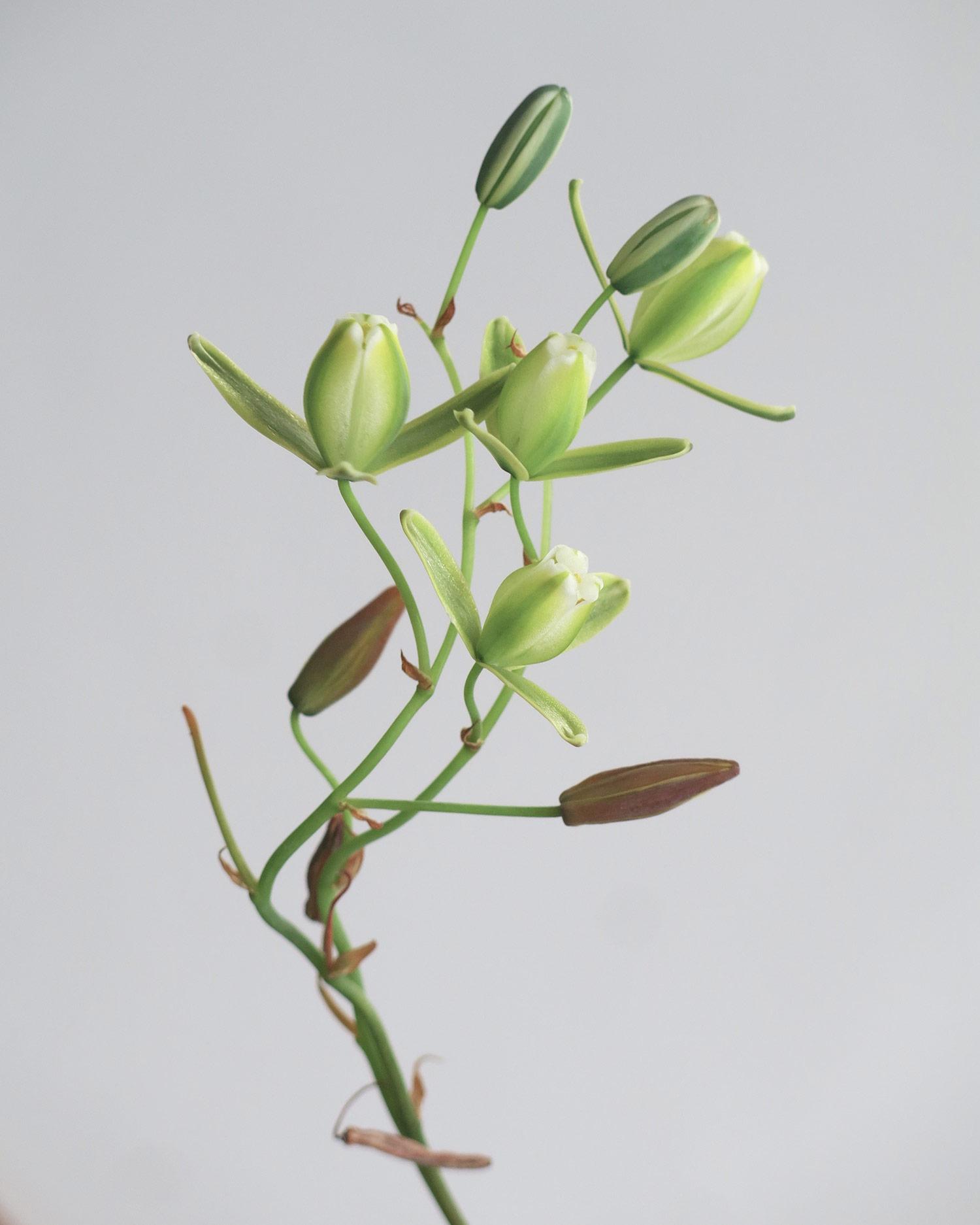Albuca-juncifolia-10-