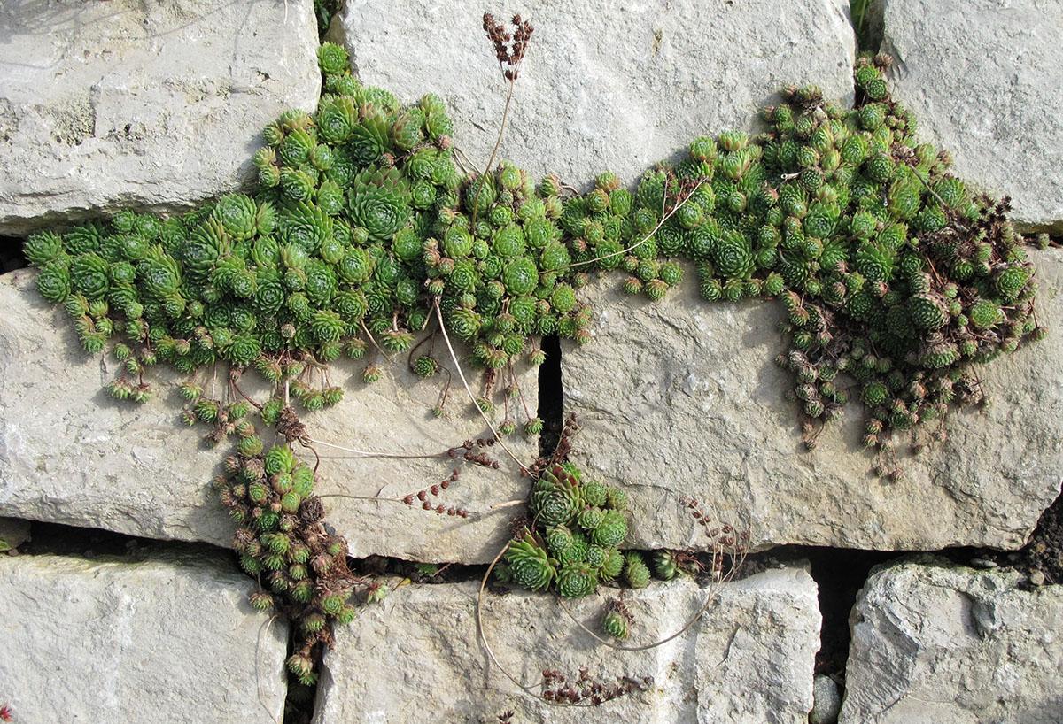 Sempervivum arachnoideum 4