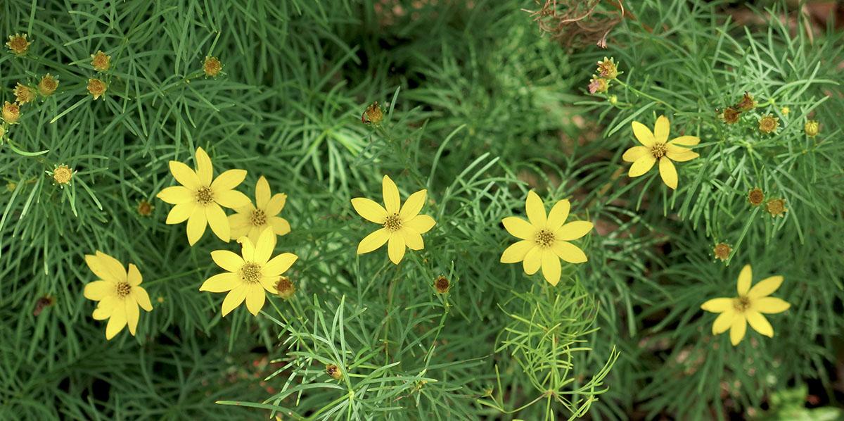 Coreopsis verticillata Zagreb 5