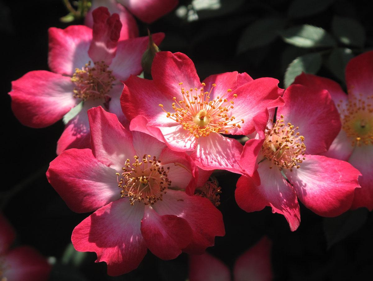 Rosa sp 30