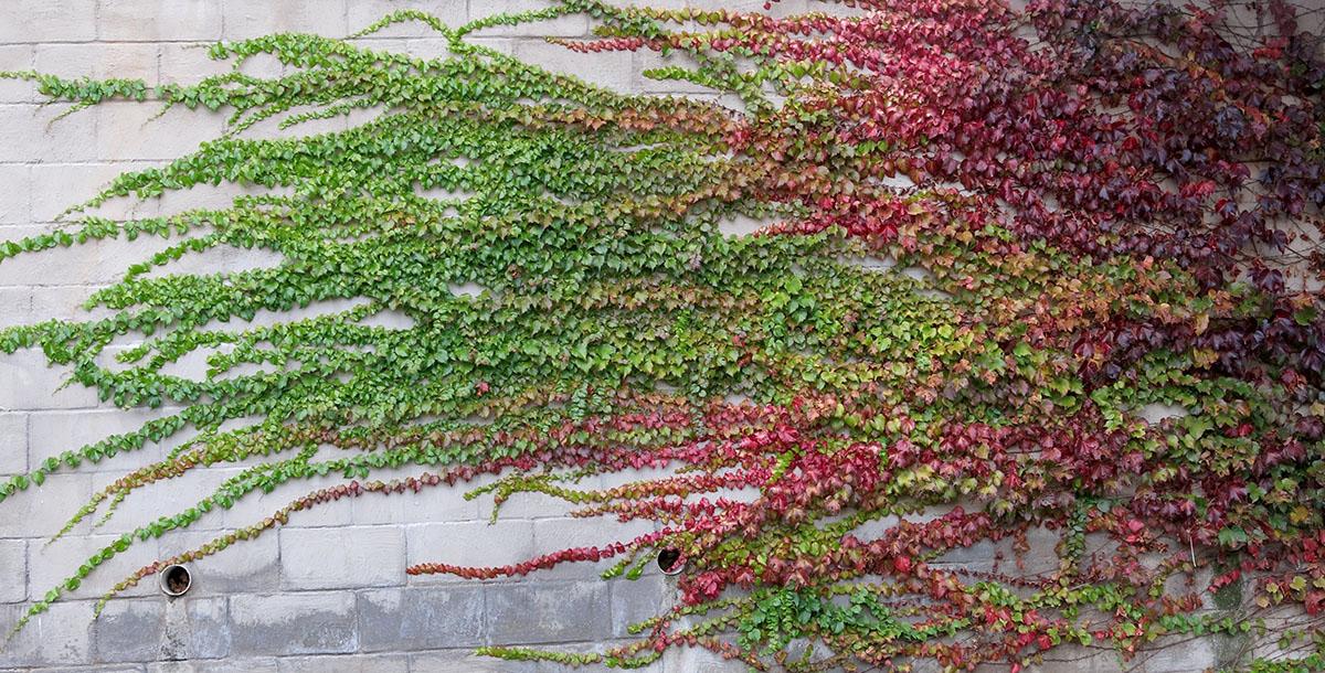 Parthenocissus tricuspidata 31