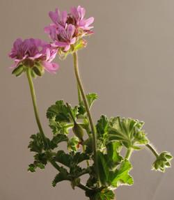 Pelargonium capitatum 41