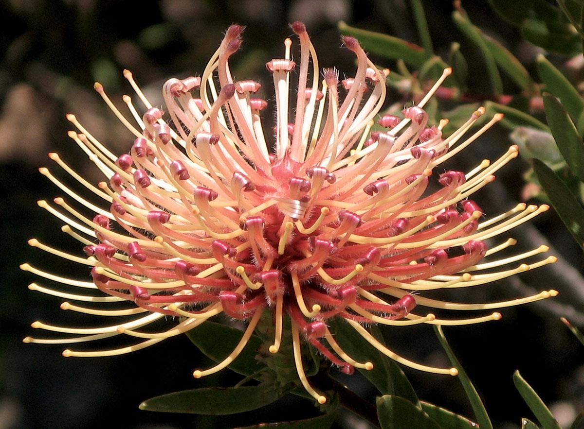 Leucospermum tottum 4