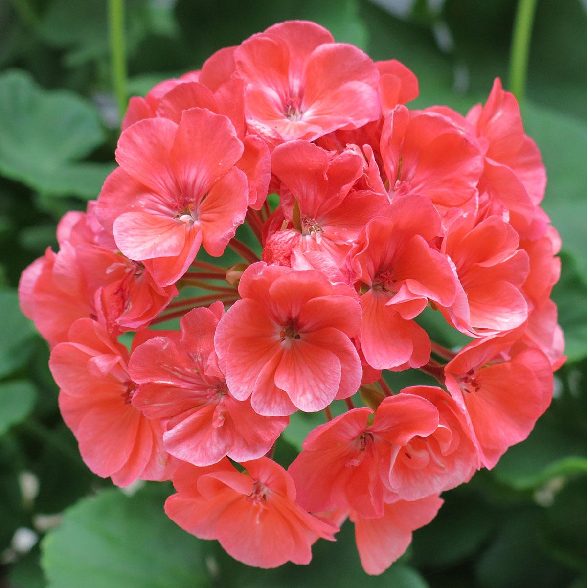 Pelargonium hortorum 10