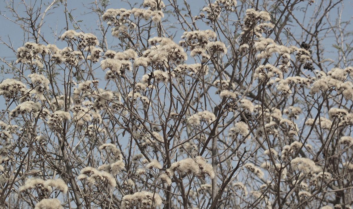 Vernonia myriantha 17