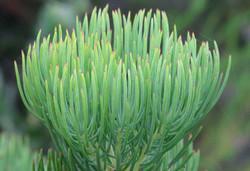 Leucadendron nobile 7