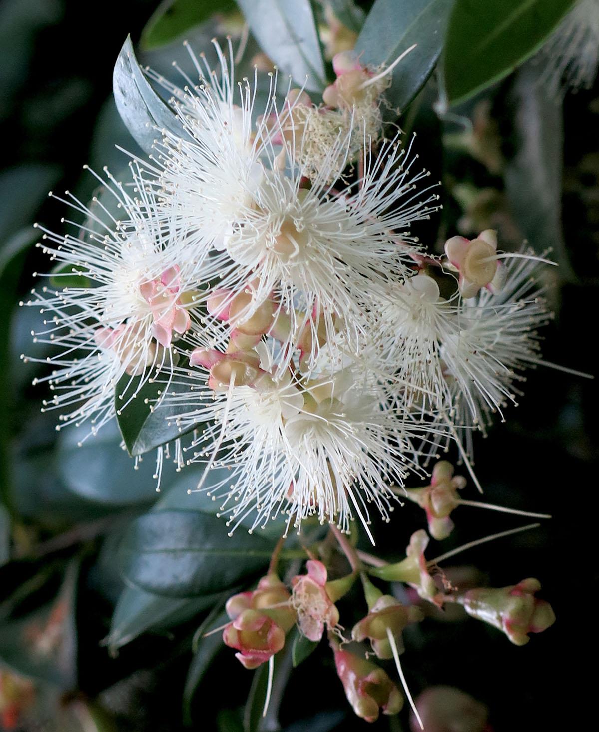 Syzygium paniculatum 71