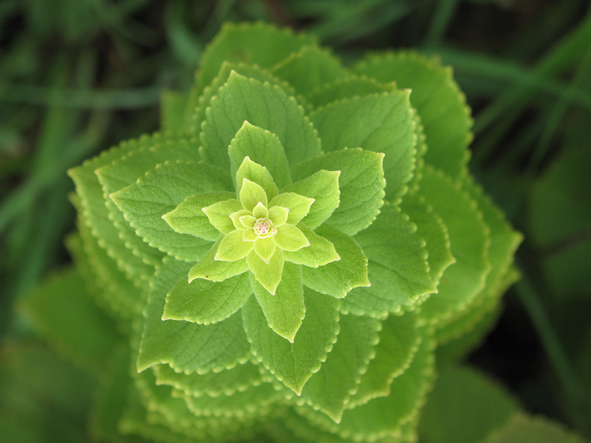 Rabdosia calycina 34