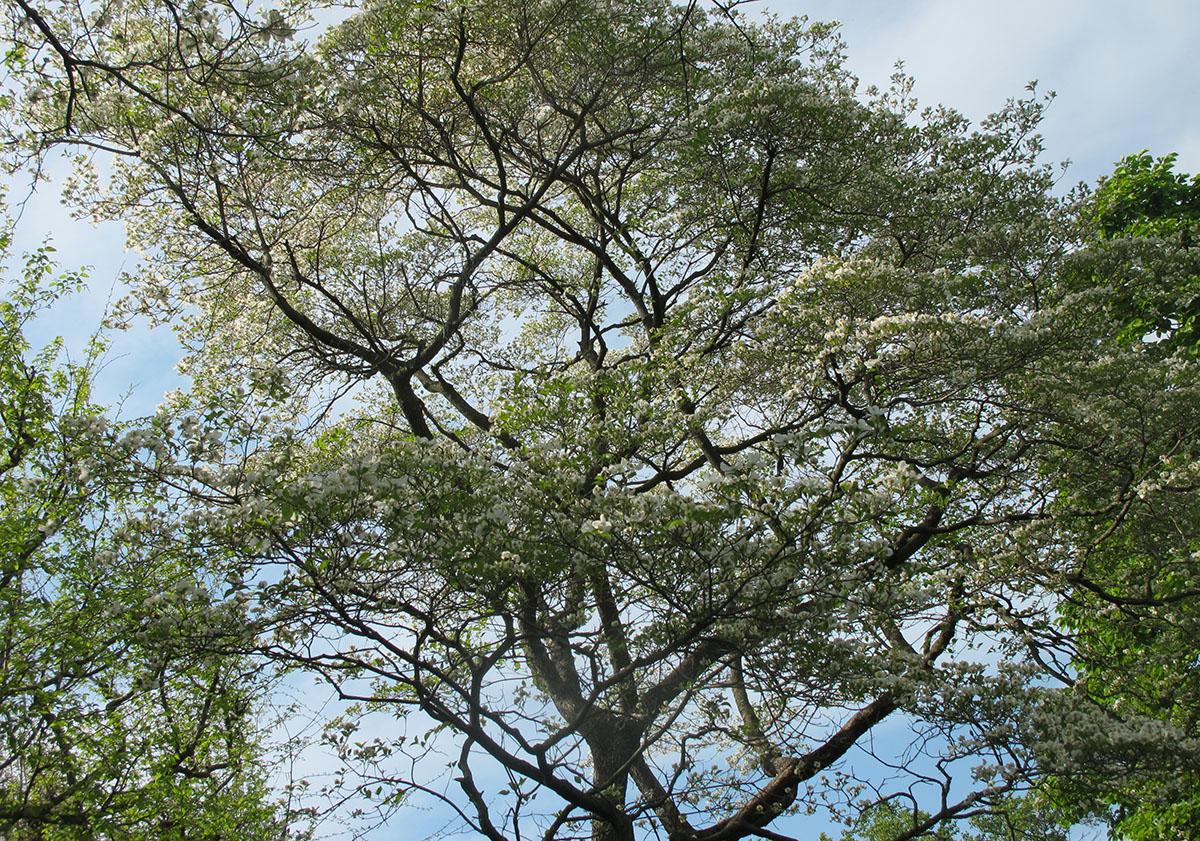 Cornus florida 34