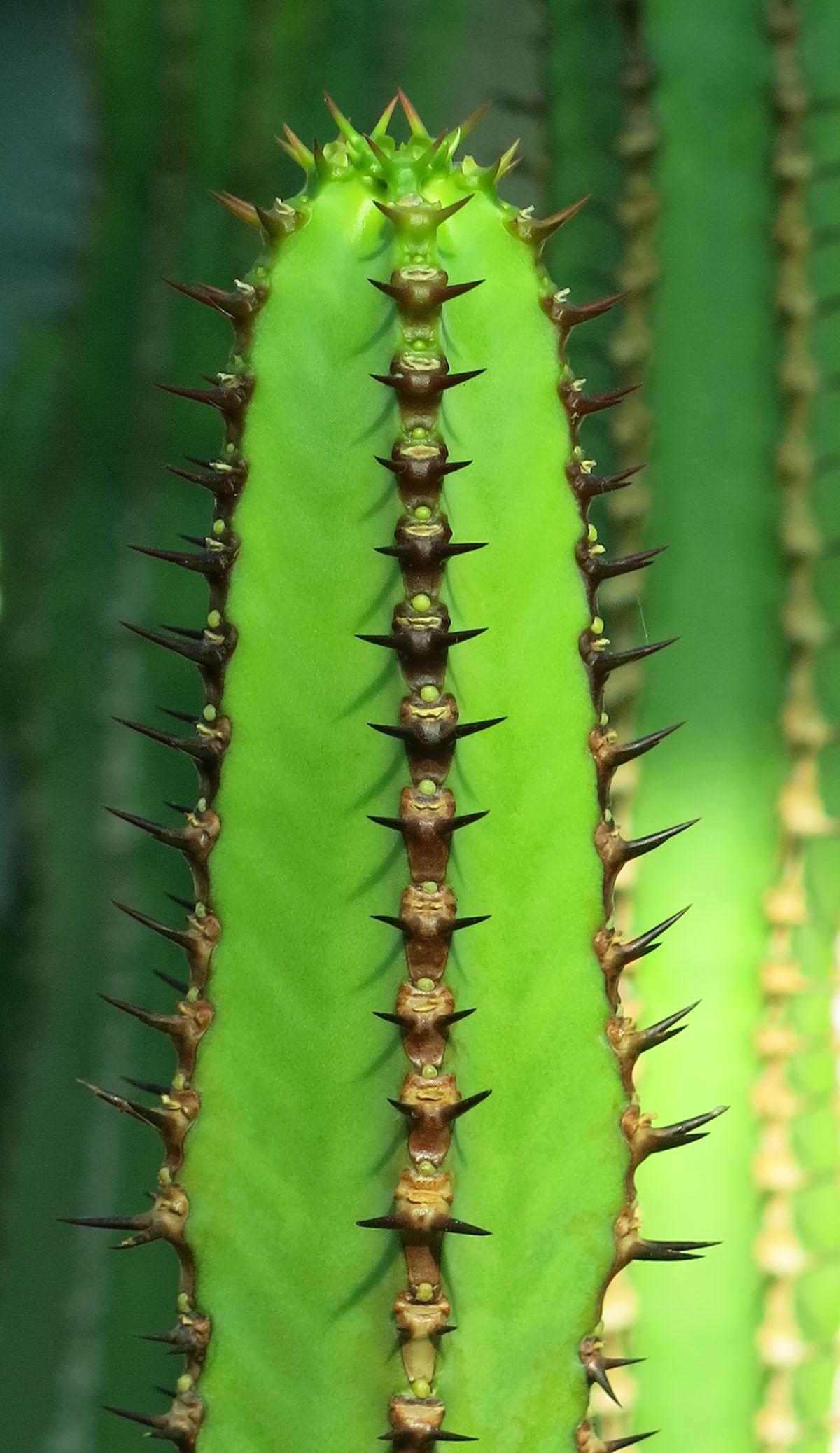 Euphorbia hottentota 2