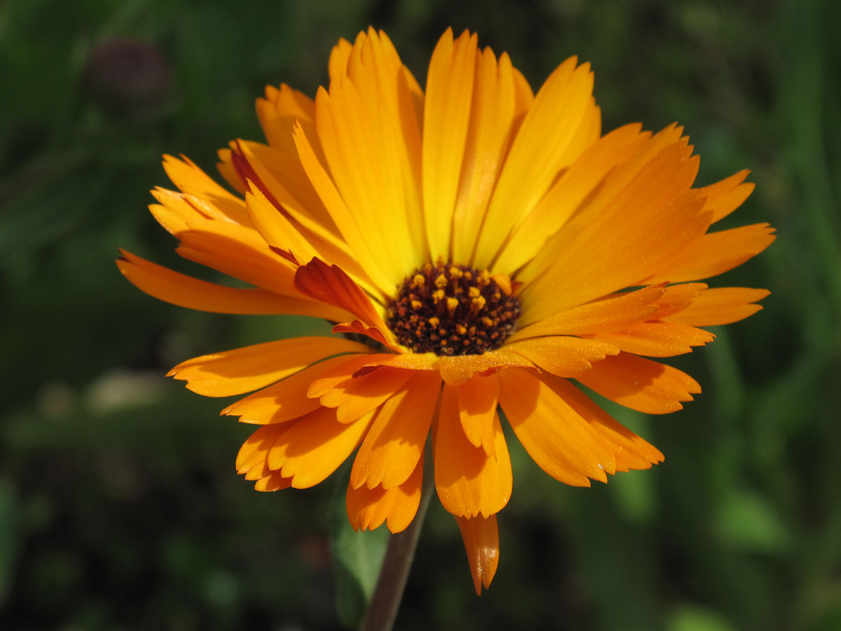 Calendula officinalis 4