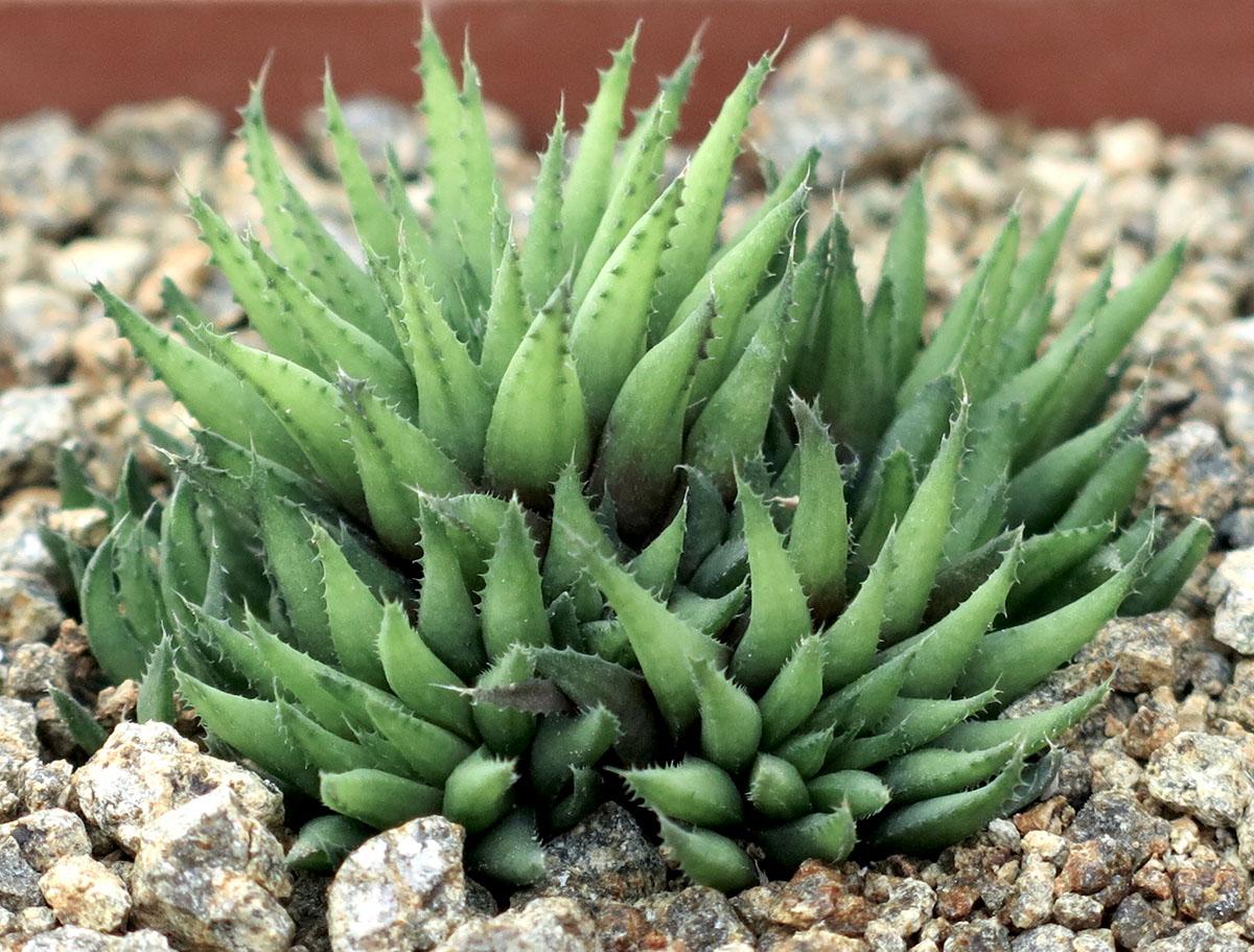 Haworthia chlorantha 2