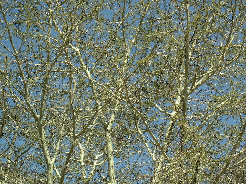 Acacia-xanthoploea-48-