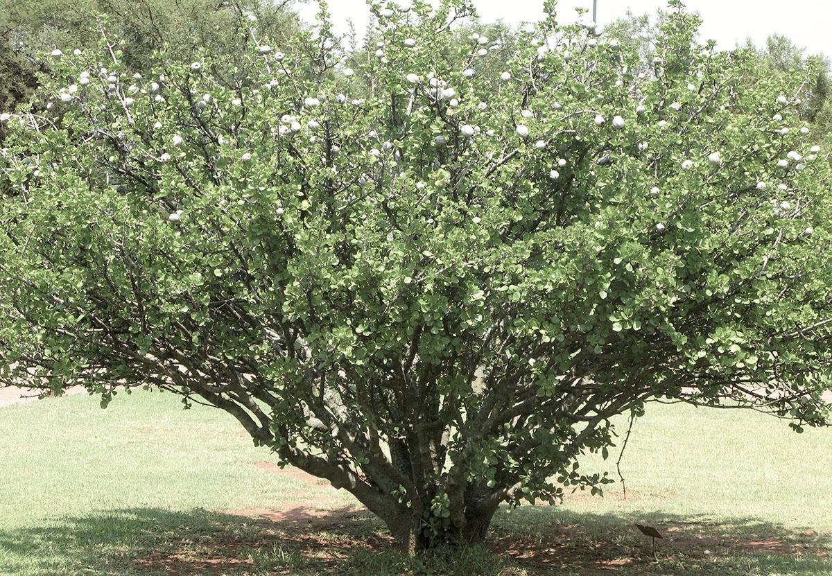 Gardenia volkensii volkensii 44