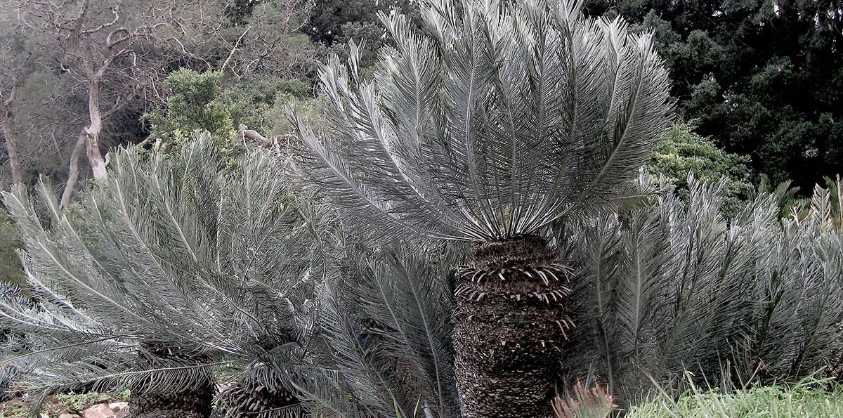 Encephalartos ghellinckii 10