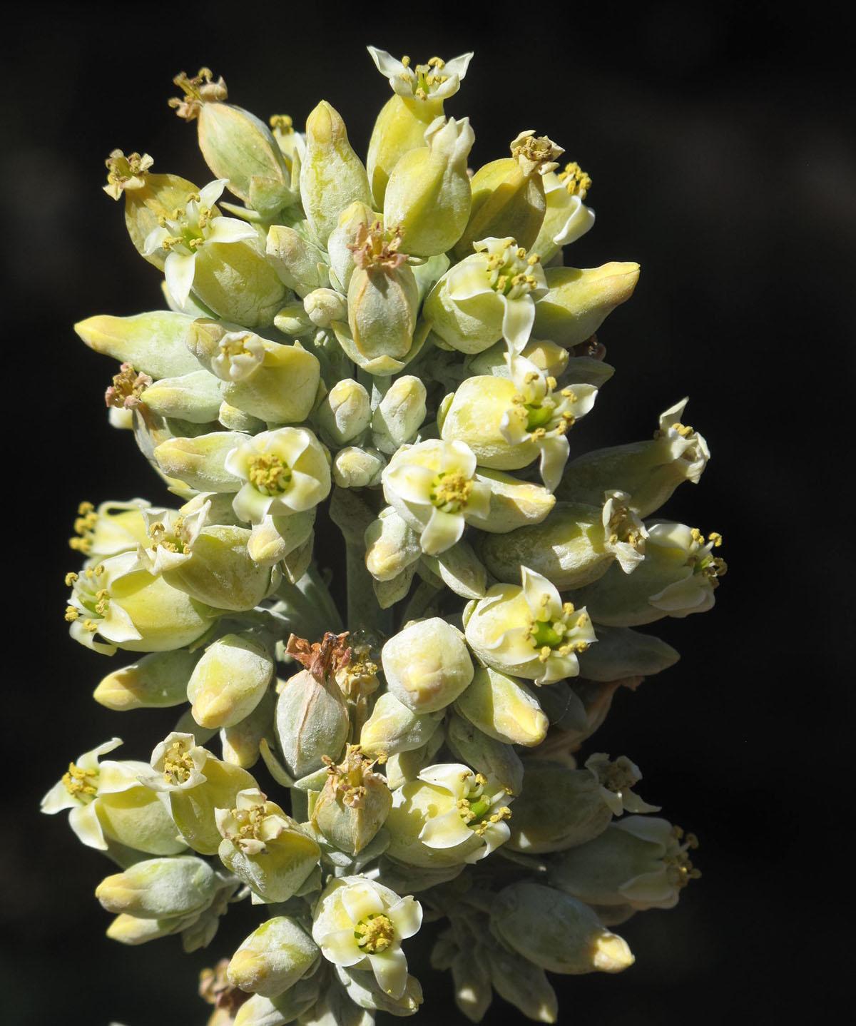 Kalanchoe thyrsiflora 49