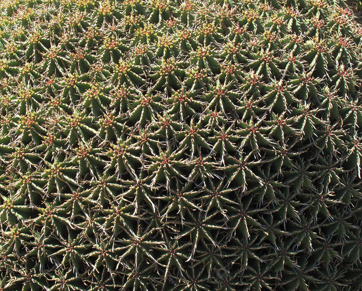 Euphorbia pulvinata 20