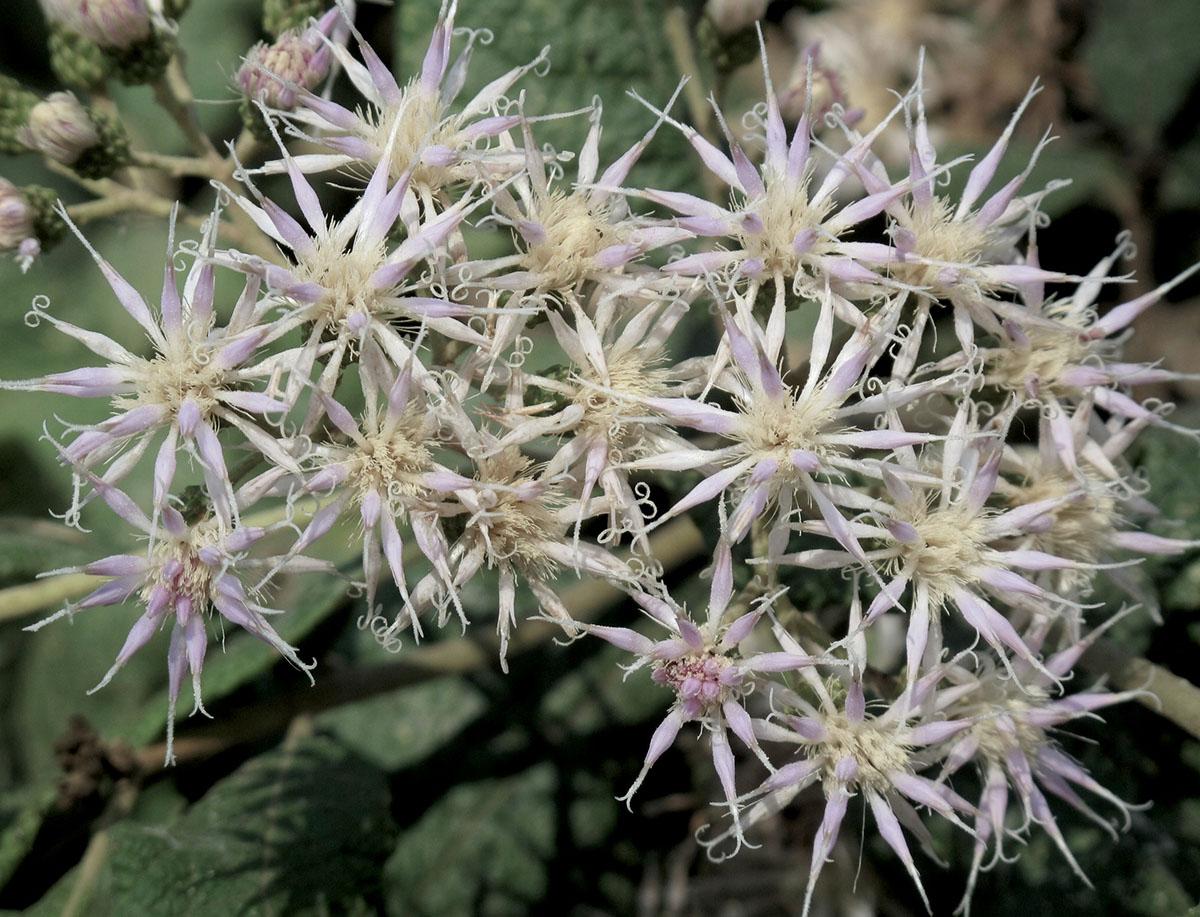 Vernonia myriantha 33
