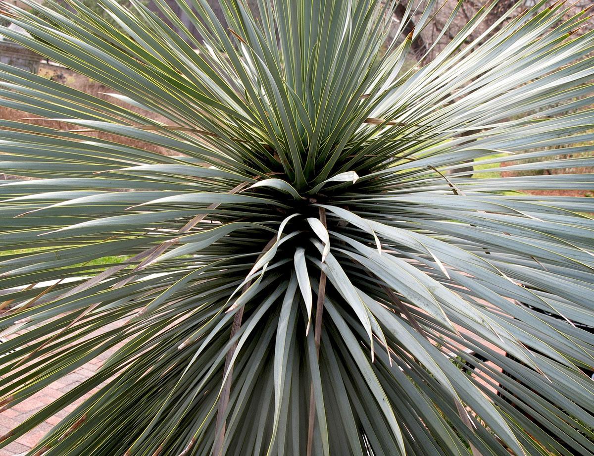 Yucca rostrata 9
