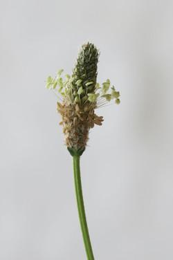 Plantago lanceolata 12