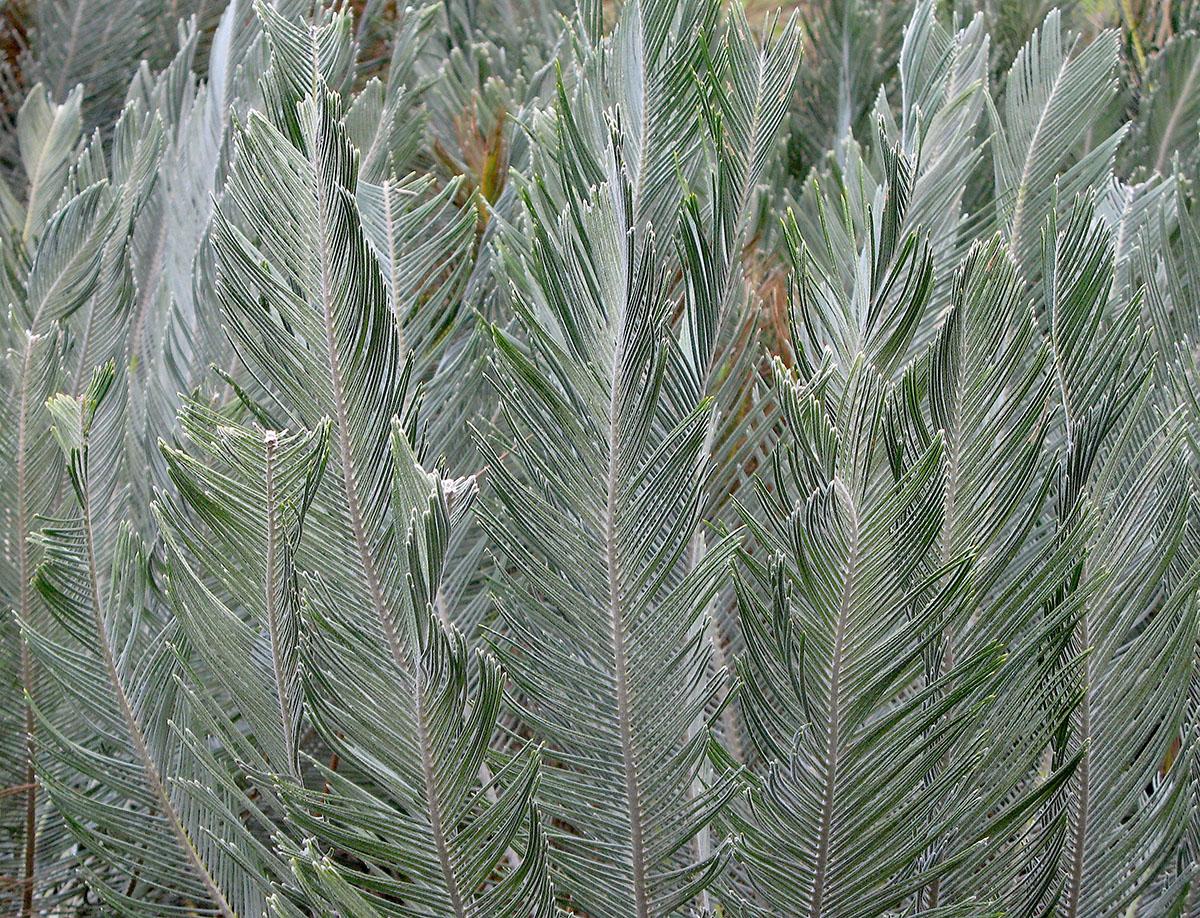 Encephalartos ghellinckii 16