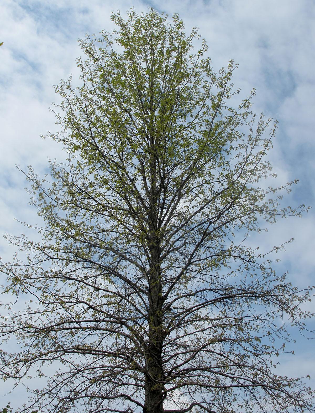 Quercus lyrata 7