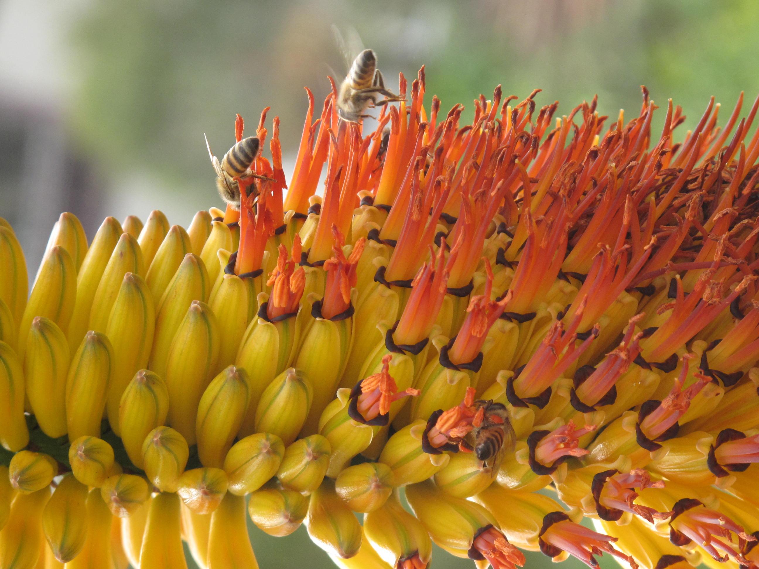 Aloe marlothii 42