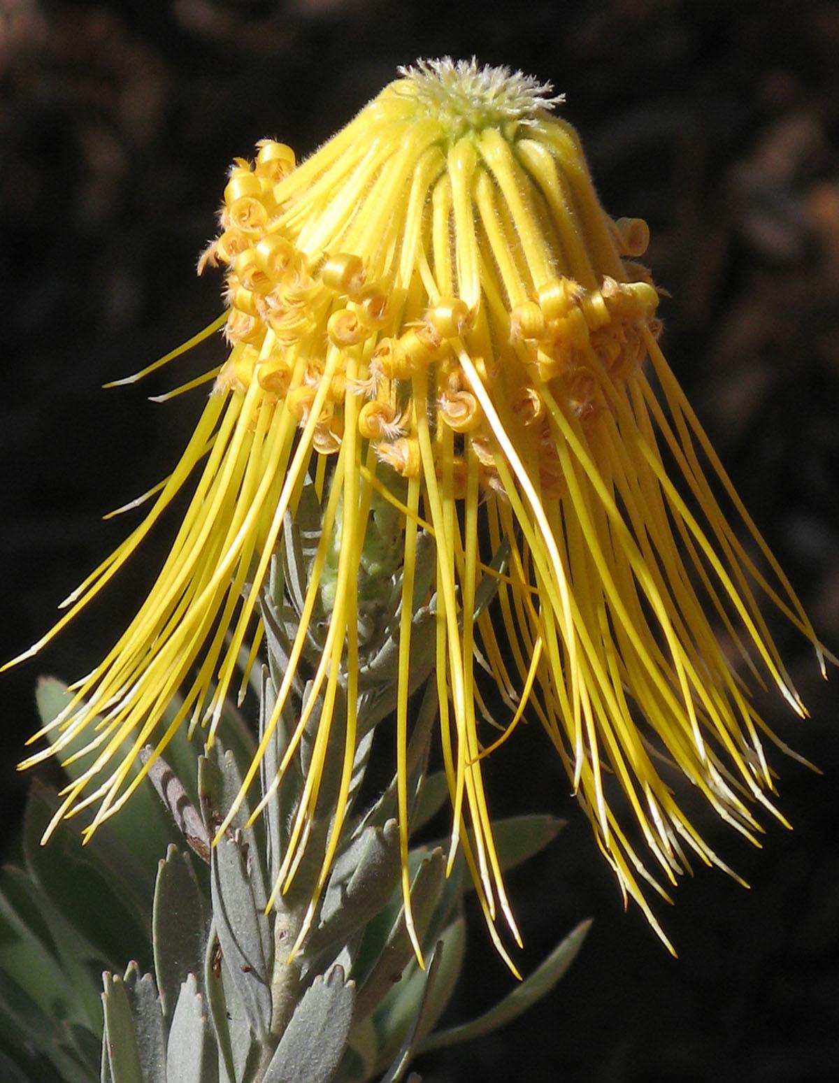 Leucospermum reflexum luteum 26