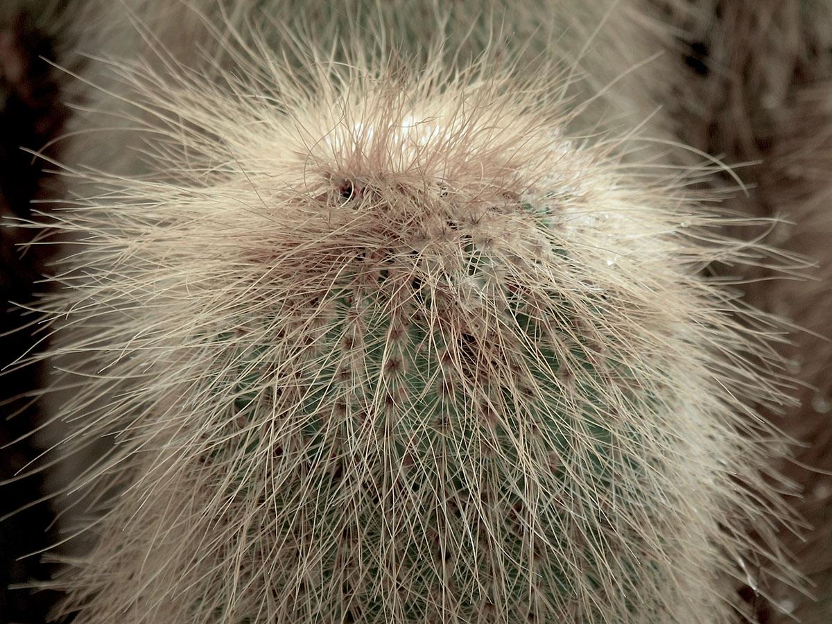 Notocactus leninghausii cristata 3