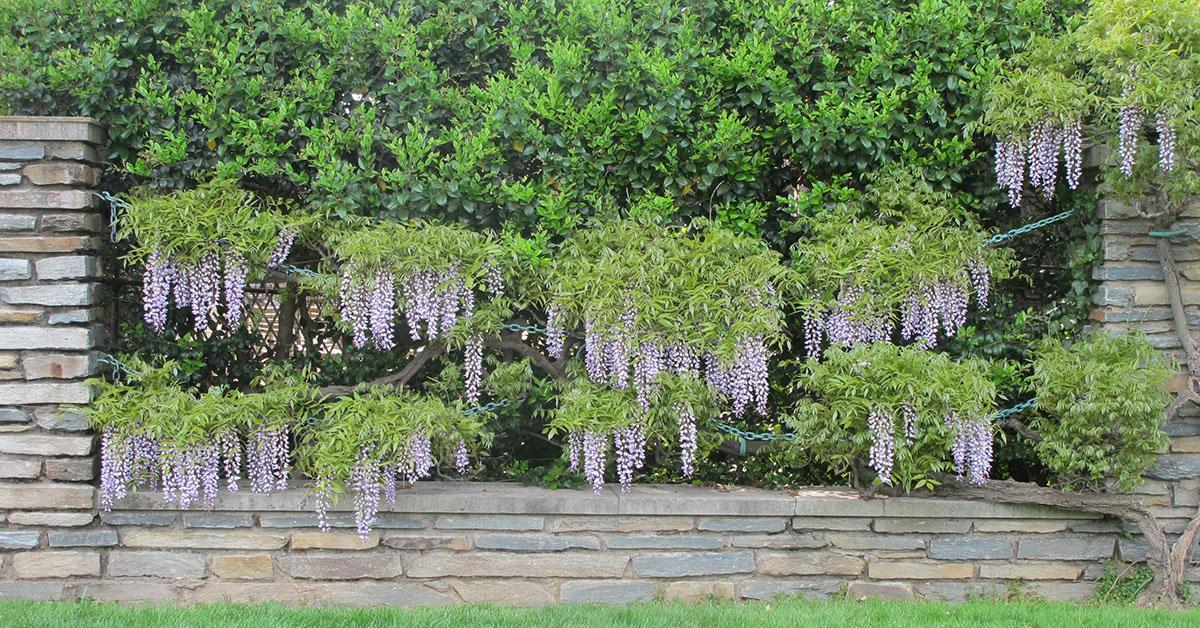 Wisteria floribunda 34