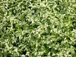 Pittosporum tenuifolium 'Irene Paterson' 2