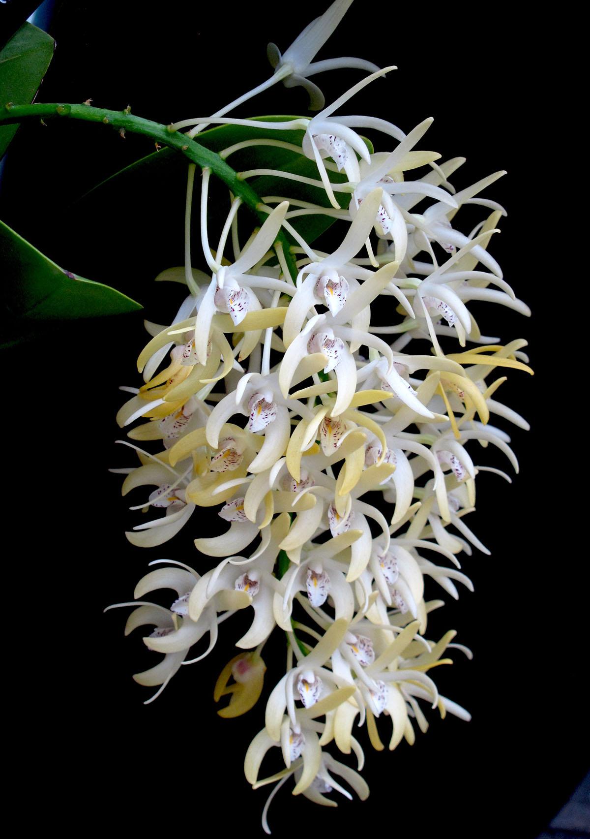 Dendrobium speciosum 9