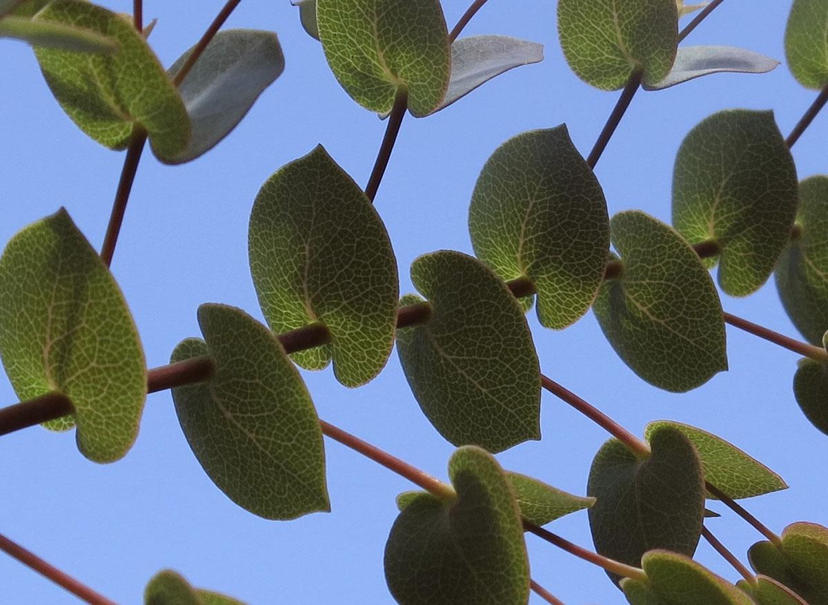 Rafnia acuminata 9 1
