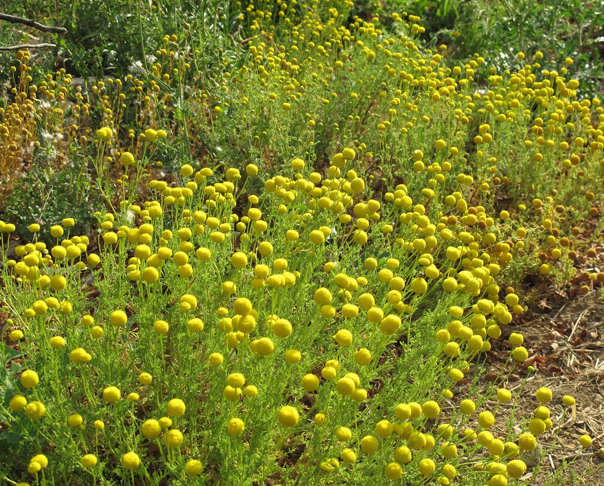 Cotula coronopifolia 11