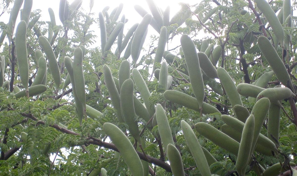 Acacia-hebeclada-13-