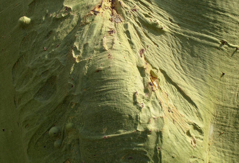 Acacia-xanthoploea-88-