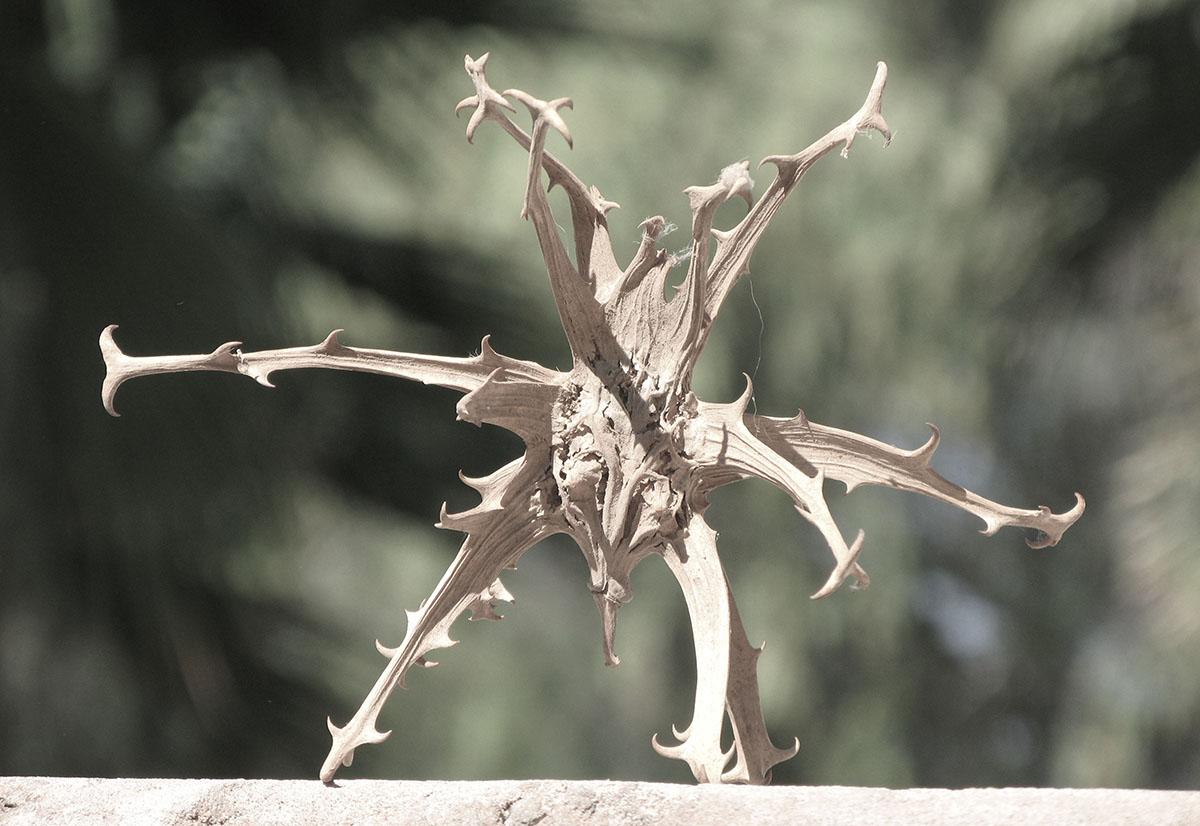 Harpagophytum procumbens 4