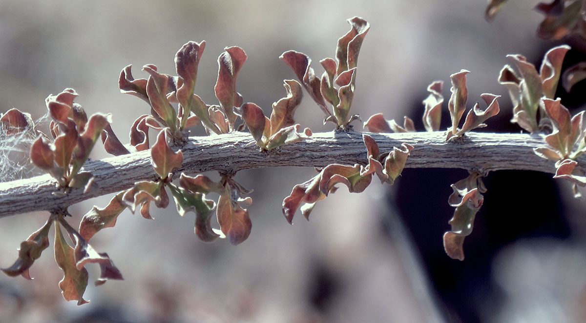 Rhigozum trichotomum 11