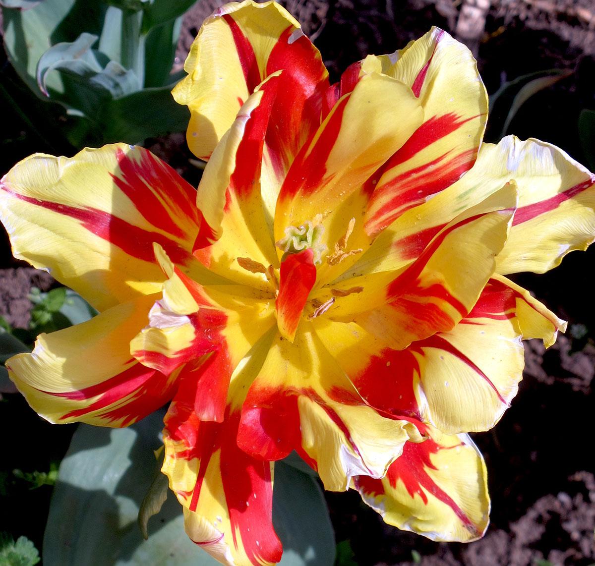 Tulipa X sp 92 3