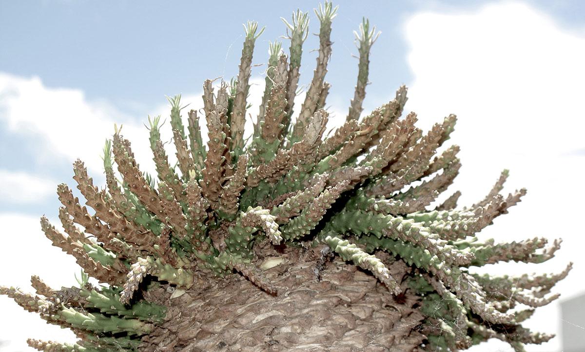 Euphorbia caput-medusae 6