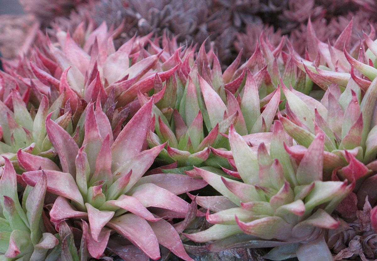 Haworthia reticulata subregularis 3
