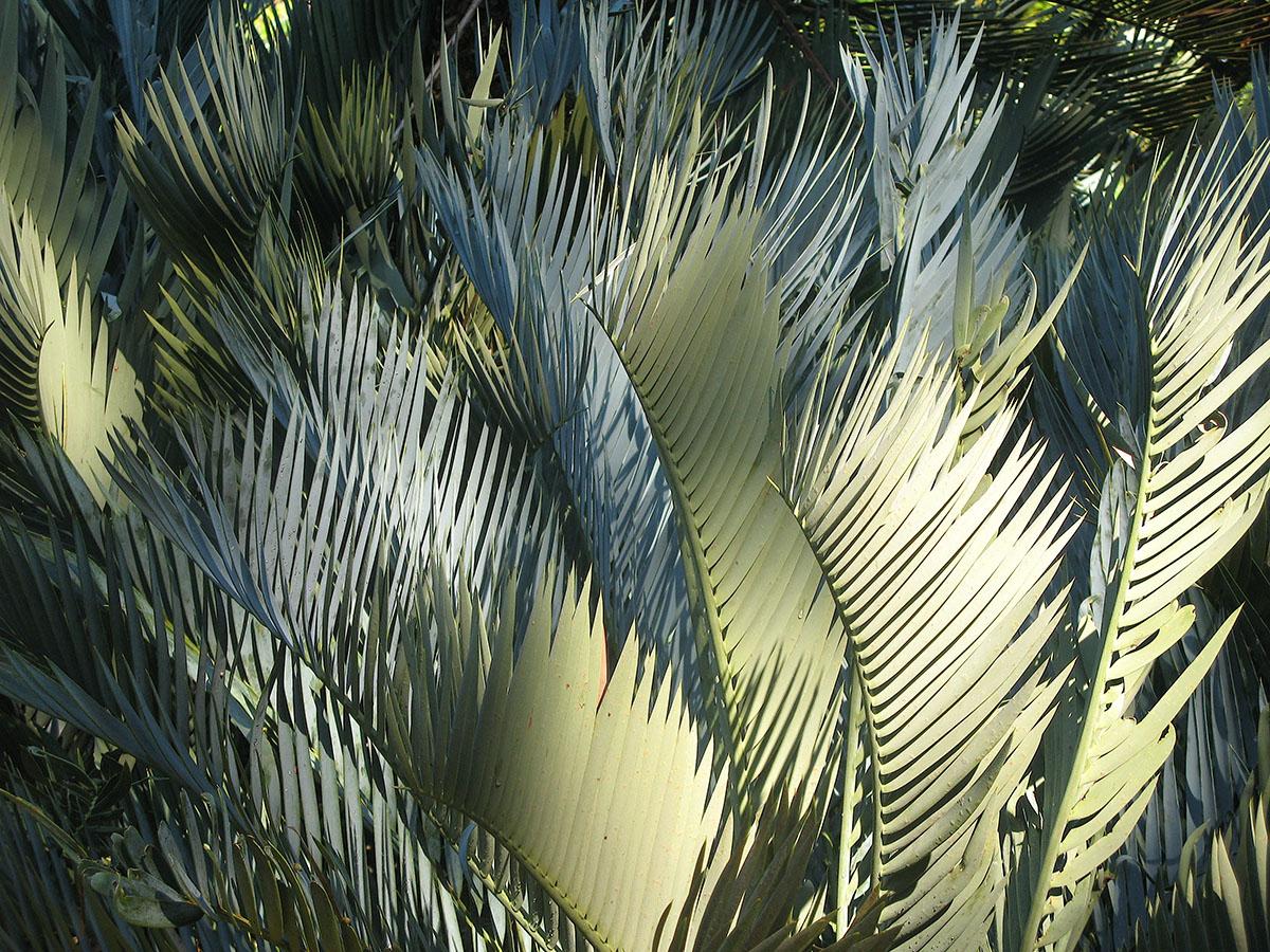 Encephalartos princeps 33