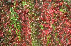 Parthenocissus quinquefolia 59