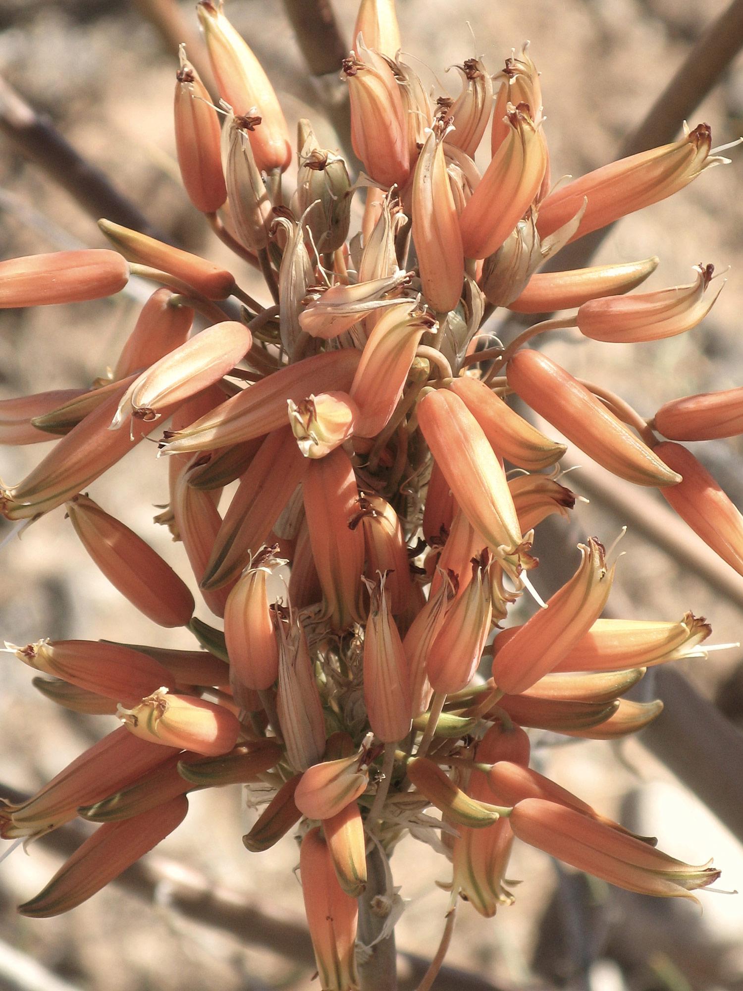Aloe-hereroensis-8-